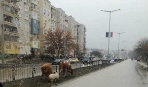 Щастлив добитък разсмя видинчани в социалните мрежи (снимки)