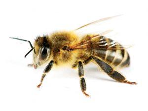 Пчеларите от Добруджа регистрират търговска кооперация