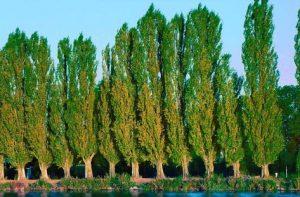 Залесяват с тополи във Видинско