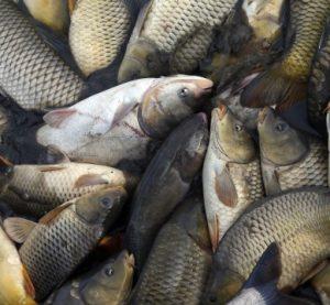 Крадец задигна над 600 кг риба от язовир
