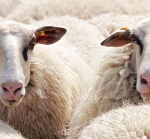 Стадо овце предизвика тежка катастрофа между ТИР и цистерна край Враца
