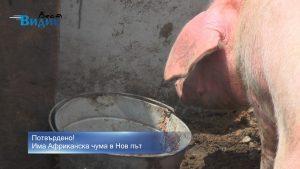 Потвърдено! Има Африканска чума в Нов път, започват да избиват свинетe в махалата (видео)