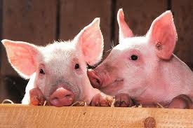Във Видин обсъдиха ситуацията около Африканската чума по свинете