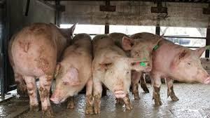 Над 2 млн. лв. обезщетения за стопаните на свине