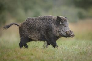 Откриха Африканска чума при диви свине в Криводол