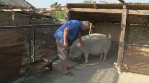 След крайния срок – ликвидираха ли стопаните прасетата в задните дворове