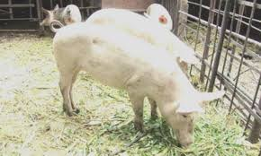 БАБХ регистрира нови огнища на АЧС при домашни и диви свине в областите Русе и Благоевград