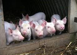 Експерти прогнозират, че до края на август африканската чума по свинете ще обхване цялата страна