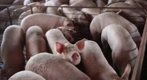 Потвърдиха Африканска чума, в най-големия свинекомплекс във видинско