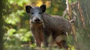 През октомври стартира груповият лов на дива свиня
