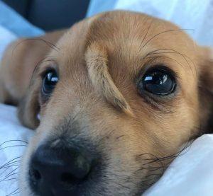 """Кученце """"еднорог"""" се роди с опашка на челото"""