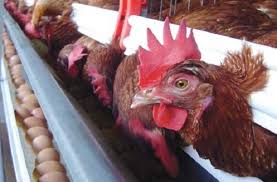БАБХ ликвидира огнище на Инфлуенца по птиците в Асеновград