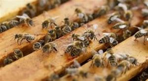 Внимание пчелари! Предстои третиране на площи с препарати за растителна защита във Видин и региона