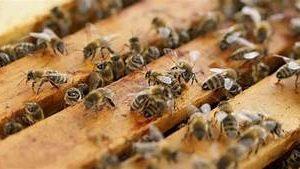 Слаба реколта на мед, пчелари искат субсидии сега