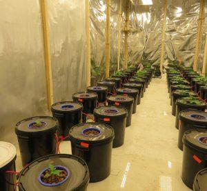 Професионално оборудвана оранжерия за отглеждане на канабис е разкрита в село Крайници