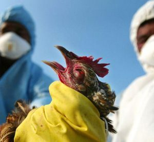 Умъртвиха птици във Видинско, заради огнище на птича болест, отглеждани в две лични стопанства