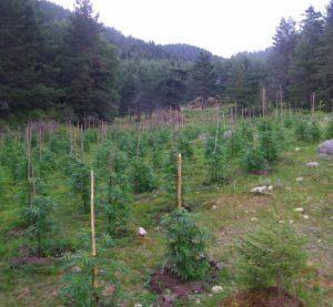 Откриха близо 4,5 тона канабис в Златарево