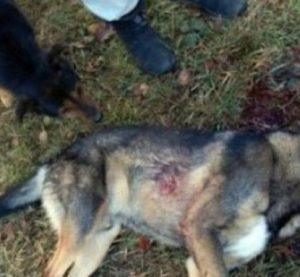 Откриха труп на простреляно куче във Видинско