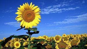 Фестивал на слънчогледа организират в община Монтана