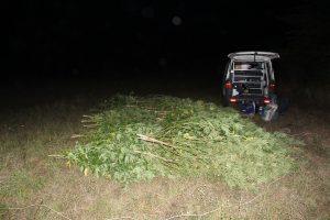 Полицията откри 70 канабисови растения във Видинско (Снимки)