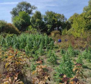 Нива с канабисови растения е разкрита в монтанското село Стубел (Снимки)